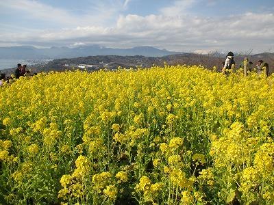 二宮菜の花IMG_0687.jpg