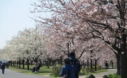 小松川桜IMG_5491.JPG