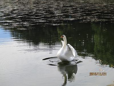 白鳥IMG_0029.jpg
