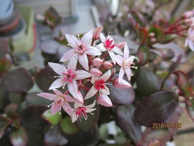 金の生る木の花IMG_0867.jpg